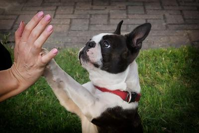 Boston Terrier touching their paws with someone's hands