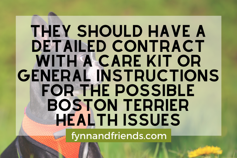 Boston Terrier with orange vest