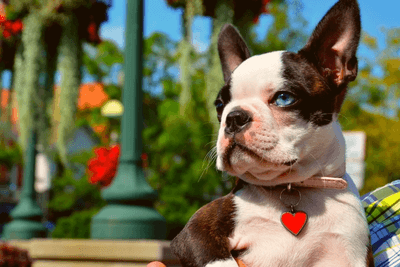 boston terrier with blue eyes