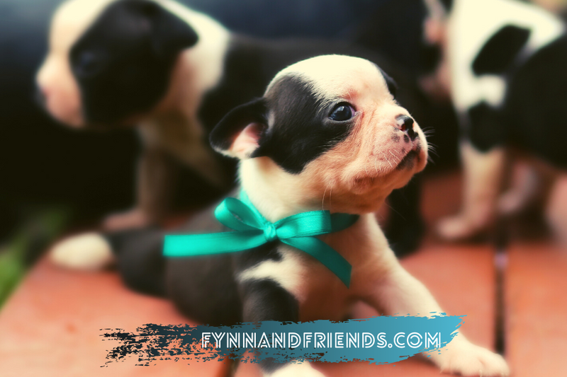boston terrier puppies with blue ribbons on their neck