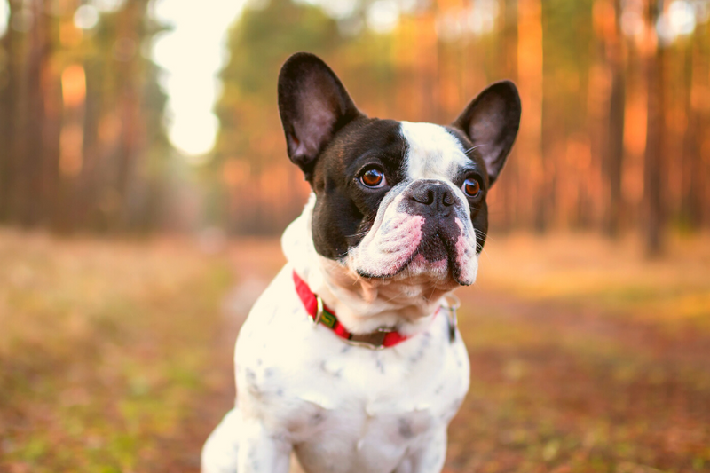 Frenchton Guide: The Boston Terrier French Bulldog Mix