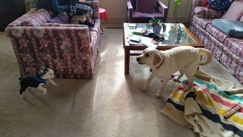 Boston_Terrier_Golden_retriever