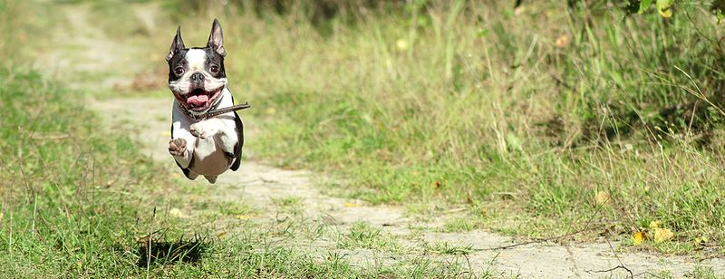 Happy Boston Terrier running with delight in a forest path during the summer