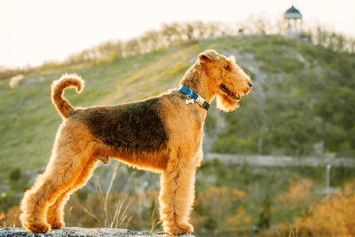 Airedale Terrier standing on top of a hill