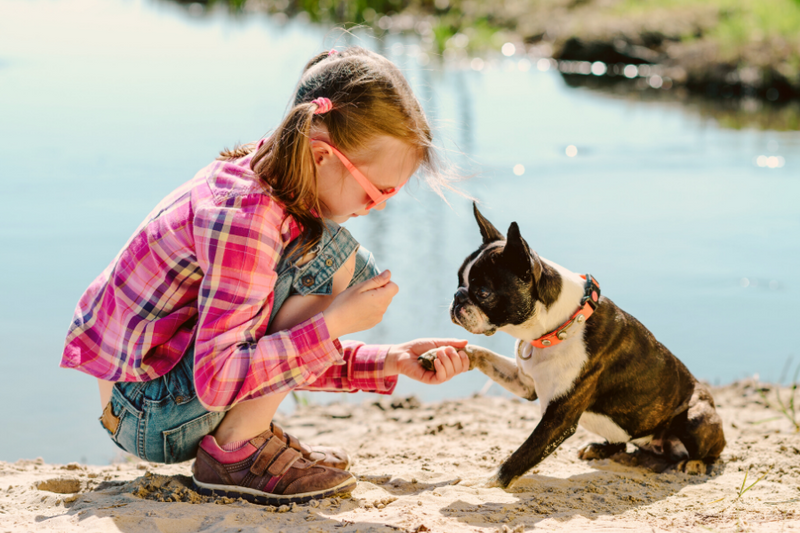 Boston Terrier with a girl