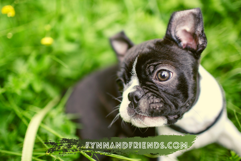 boston terrier lying in the grass