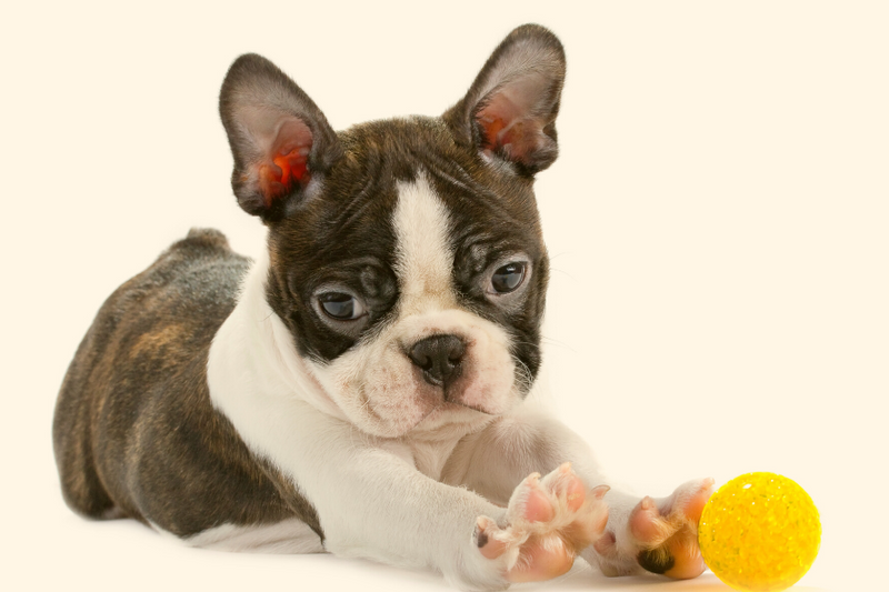 Here's what you should consider first before you buy Boston Terrier