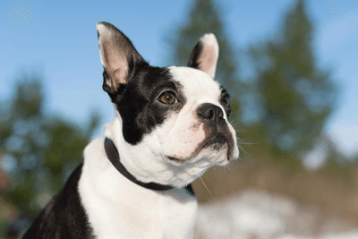 Boston Terrier looking from afar