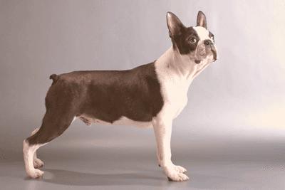 Boston Terrier standing side profile