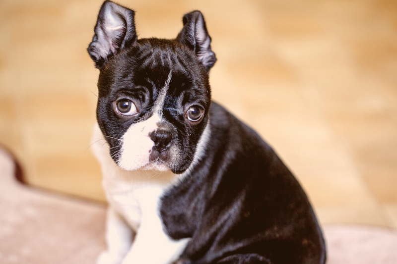 5 Ways To Take Care Of Your New Boston Terrier Puppies