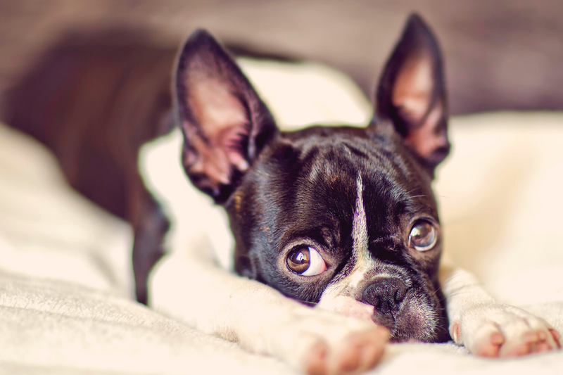 15 Boston Terrier Facts You Didn't Know About