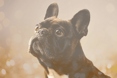 boston terrier pug mix dog with bokeh background