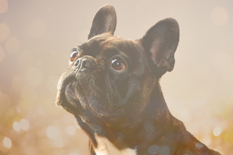 The Bugg Guide: Boston Terrier & Pug Mix