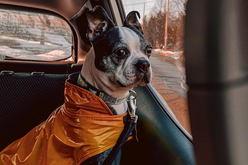 mixed Boston Terrier sitting inside a car