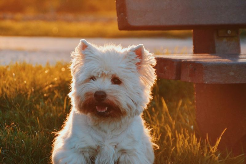 West Highland White Terrier sitting on the grass and the streaks of sunlight creates a halo of its back
