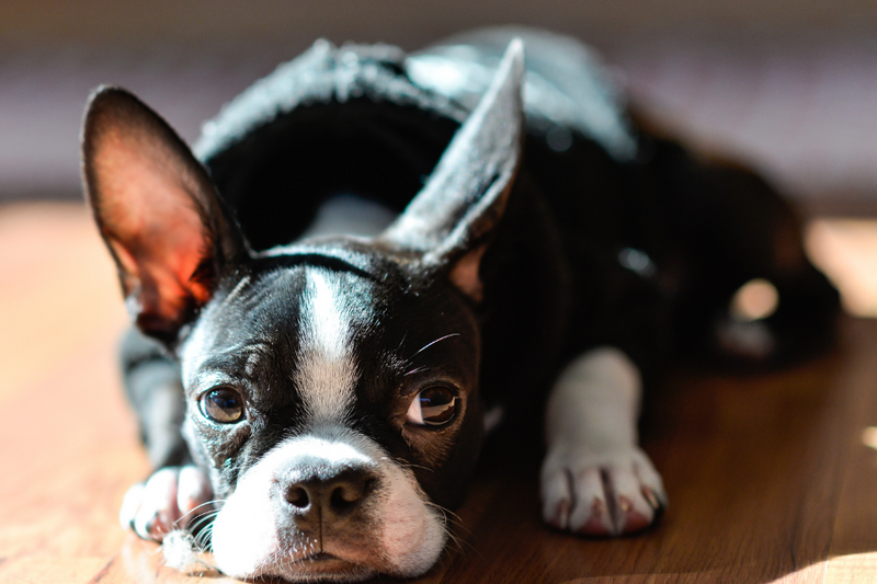 What Is A Boston Terrier's Ultimate Purpose In Your Life?