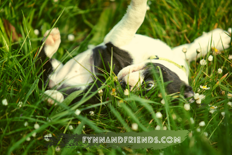 baby boston terrier frolicking in the grass