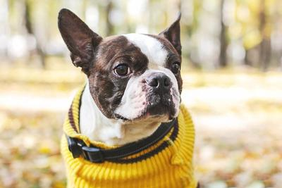 Close up shot of Boston Terrier wearing yellow sweater in Autumn