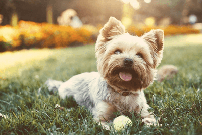 Yorkshire Terrier lying on the lawn