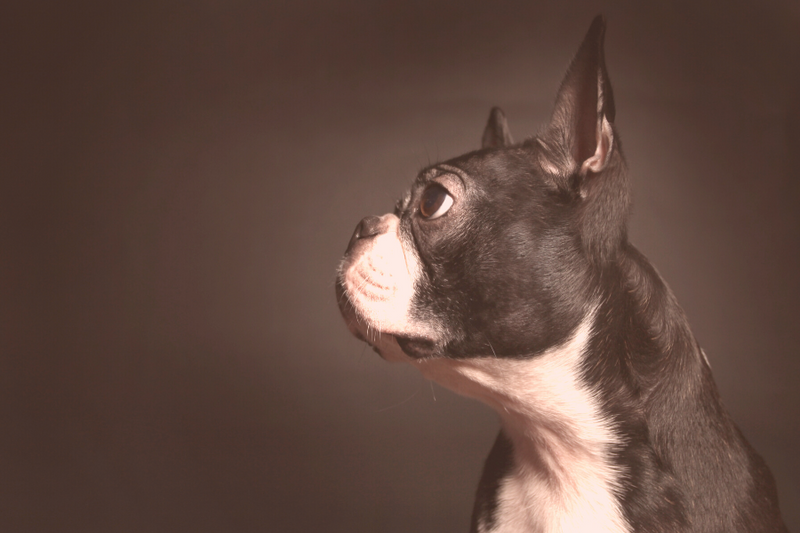 Side profile of Boston Terrier's face
