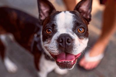 Boston Terrier smiling