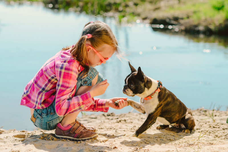 5 Common Misconceptions of Boston Terriers
