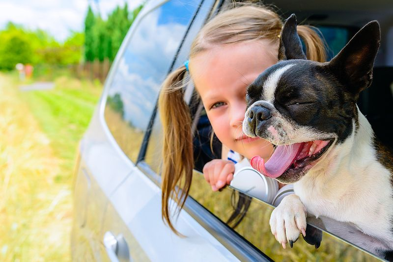 Boston Terrier yawning and looking outside a car window with a girl