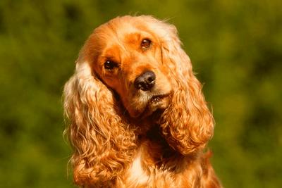Cocker Spaniel looking up in a field