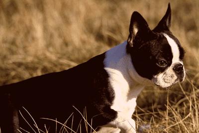 adult boston terrier in field