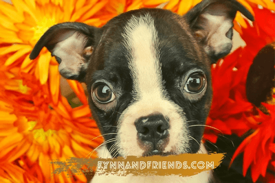 boston terrier with orange flowers in background