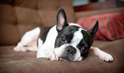 why boston terriers make great pets