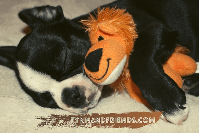 boston terrier puppy sleeping with a lion stuffed toy
