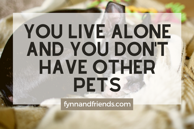 Why you should not buy Boston Terrier: You live alone and you don't have other pets
