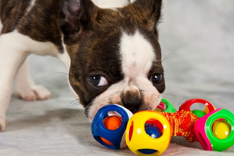 Buying for Boston Terriers: 5 of the Best Dog Toys for the Breed