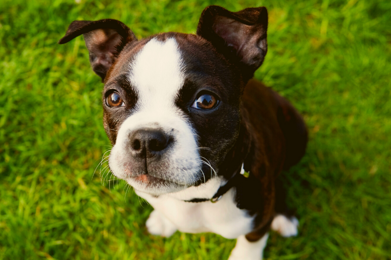 Boston terrier rescue puppy looking up