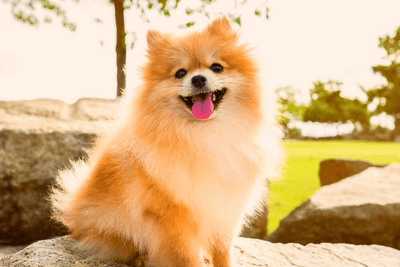 Pomeranians have a fluffy coat by nature