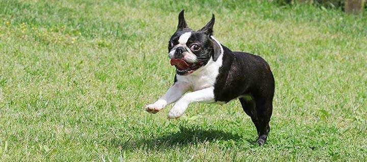 Is Dog Clothing a Necessity for Your Boston Terrier or Just a Fashion Fad?