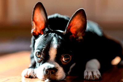 boston terrier affectionate