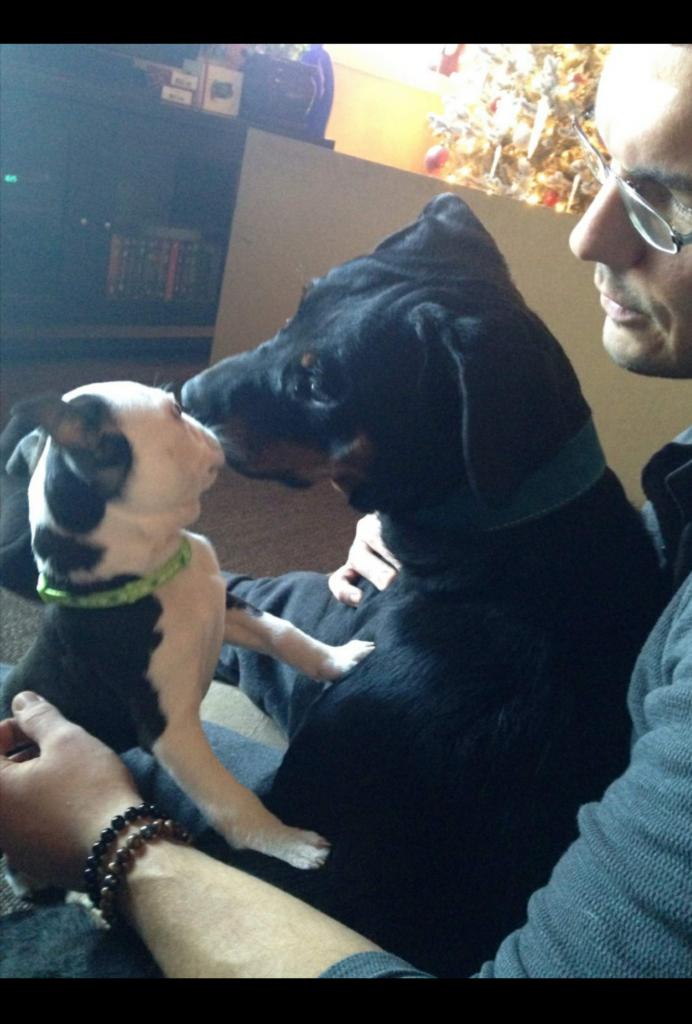 Boston_Terrier_rottweiler