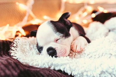 Boston terrier puppy sleeping on a fur blanket