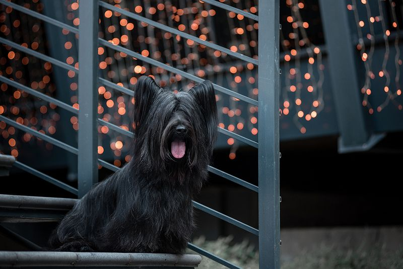 Black Skye Terrier sitting on a black metal staircase with fairy lights on the background