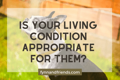 Is your living condition appropriate for them? with Boston Terrier looking up in background