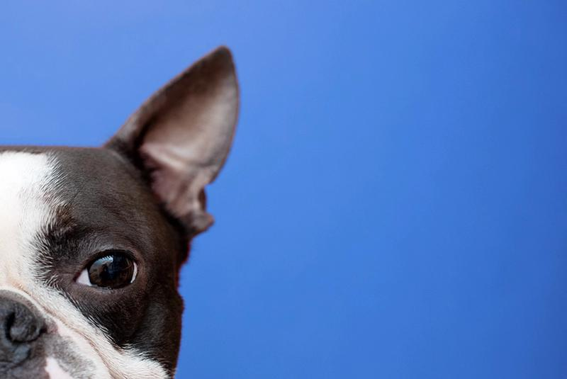 Boston Terrier Website