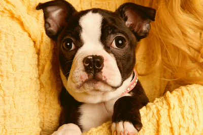 boston terrier rescue puppy