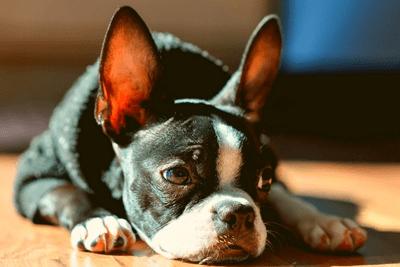 Boston terrier lying on a wooden floor