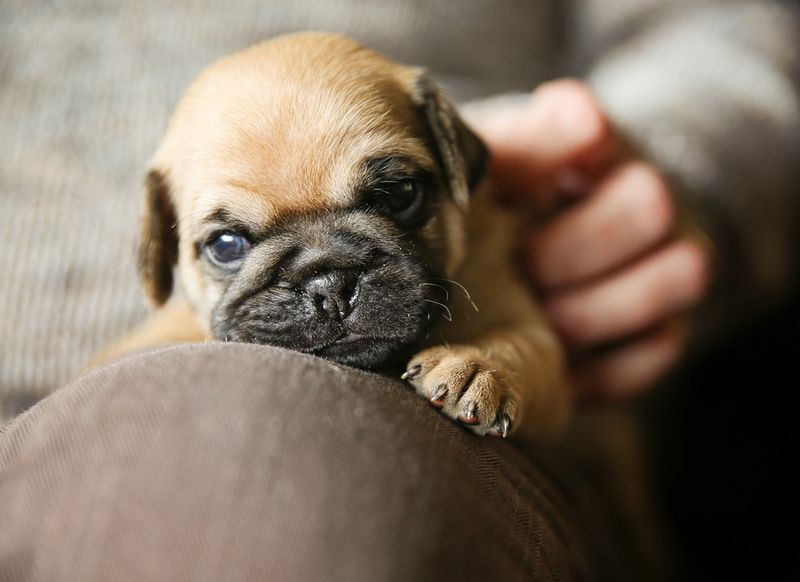 a cute chug pug puppy on a lap being petted looking at the camer