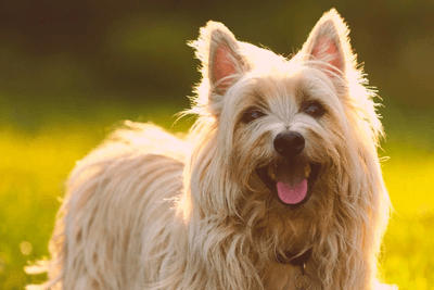 Cairn Terriers is a great breed that can eliminate the flat face of Boston Terriers