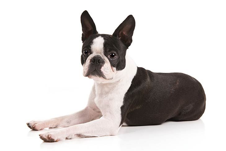 How to Measure Your Boston Terrier for Clothes