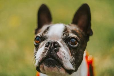 Close Up Shot of Boston Terrier looking up with focus on its brown eyes