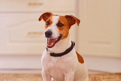 Jack Russel laughing in a living area